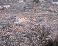 満開の桜と石巻の町